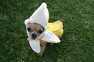 31st October 2009. Long Beach, California. The Haute Dog Howl'oween Parade in Long Beach. Pictured is Maile the chihuahua dressed as a banana. PHOTO © JOHN CHAPPLE / www.chapple.biz.john@chapple.biz  (001) 310 570 9100.