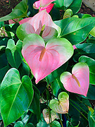 Anthurium, Oahu, Hawaii