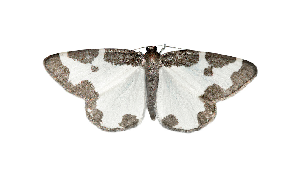 Clouded Border Lomaspilis marginata Wingspan 32-36mm. A distinctive and rather delicate moth that rest with its wings spread flat. Adult has whitish wings with a broad blackish border and spots. Flies May-July. Larva feeds on Aspen, poplars and sallows. Widespread and fairly common.