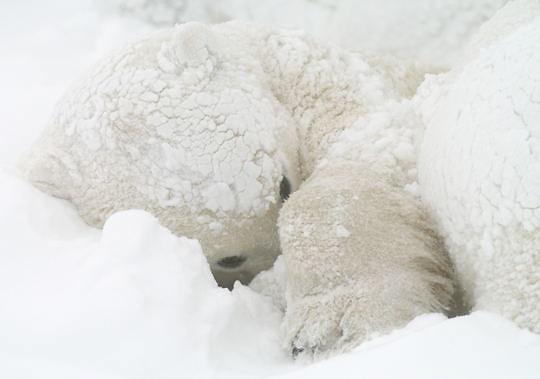 Polar Bear (Ursus maritimus)  Sub adult resting in snow bed. November. Winter. Along the Hudson Bay near Churchill, Manitoba. Canada.