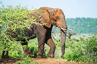 African Elephant bull, Phinda private Game Reserve, KwaZulu Natal, South Africa