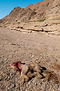 A newborn elephant dead for natural causes or killed by predators. A female elephant has been found killed by poachers not far away. Kunene, Namibia.