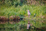 Great Blue Heron at Oxbow Bend in Grand Teton National Park