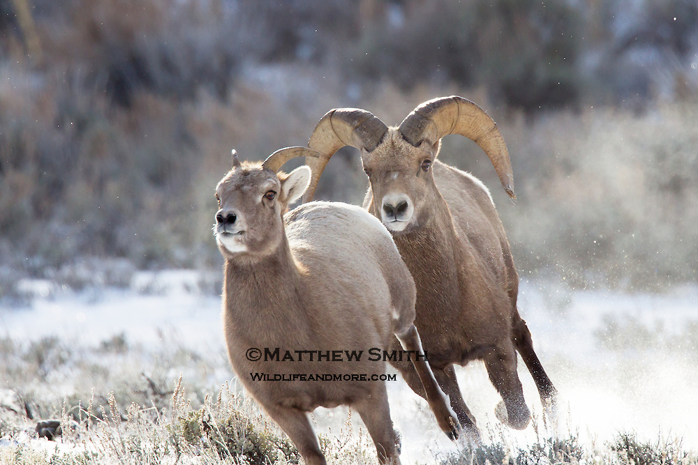 Big Horn Sheep in the National Elk Refuge Wyoming