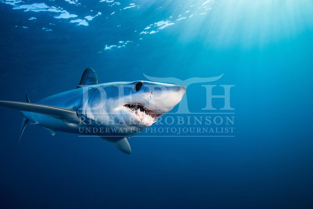 Isurus oxyrinchus (Mako Shark) off the West Coast of Auckland, New Zealand.<br /> Photograph Richard Robinson &copy; 2015.