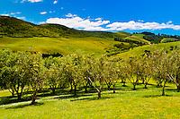 Stonyridge Vineyard, Onetangi Valley, Waiheke Island, Hauraki Gulf, near Auckland, New Zealand