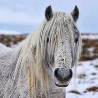 Brecon Mountain Pony