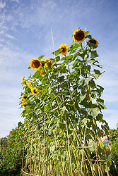 Helianthus annuus. Sunflowers against blue sky