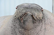 Anyone for 'I am the Walrus'? Listen to one zoo's famous resident celebrate his 30th birthday by showing off incredible vocal range<br /> <br /> Most of us enjoy a bit of a party on our birthday and it seems this giant Walrus is no different.<br /> When E.T. the Walrus celebrated his 30th recently, he decided to have a bit of sing-song.<br /> And as this YouTube video shows, he certainly has a voice to be proud of.<br /> <br /> As one of the keeper's at Point Defiance Zoo & Aquarium in Tacoma, Washington, shouted out instructions for different vocal styles, the happy Walrus gladly obliged.<br /> His styles ranged from long low bellows, to growls and even a whistle at one point.<br /> <br /> One of E.T's more bizarre noises comes from him repeatedly shaking his head while letting out a loud bellow. The talented animal also manages to make a strange noise from his throat.<br /> Unsurprisingly, E.T. is one of the star attractions at the zoo. <br /> <br /> He was found as a pup by oil workers in Alaska in 1982, starving and orphaned and was given the name - taken from the famous film.<br /> The Walrus was taken to Point Defiance Zoo & Aquarium where he was raised and he now weighs a healthy 3,400 pounds.<br /> He currently shares his living space at the zoo with female walruses Basilla and Joan. It is hoped they will establish a breeding group. <br /> Lets hope they like his singing.<br /> ©exclusivepix