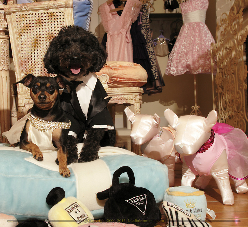 """Bella (left) is wearing the Jennifer Lopez gown from the Academy Awards, and Pippins is wearing the Leonardo DiCaprio Tux.  Pippins is a six year old """"pound puppy.""""  Bella is a seven year old Miniature Pinscher."""