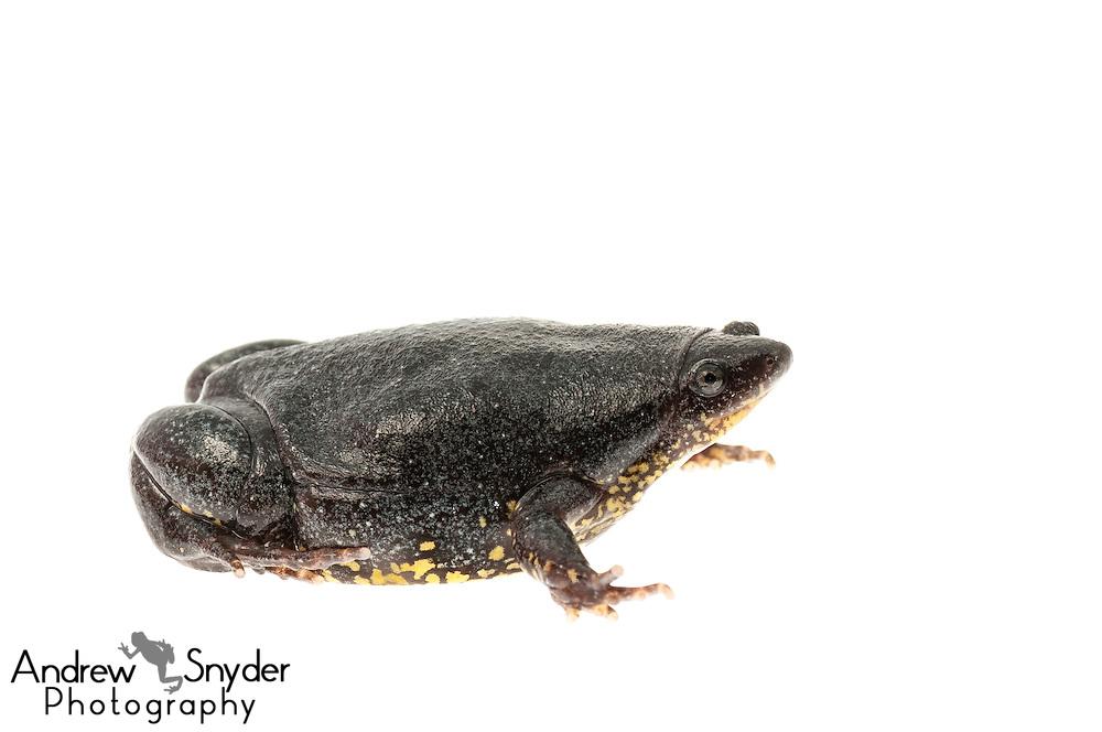 Flashy Narrow-mouth frog (Elachistocleis surinamensis) - Kanuku Mountains, Guyana.