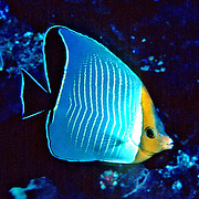 Orangeface Butterflyfish inhabit reefs. Range Red Sea & Gulf of Aden endemic.