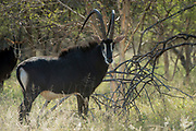 Sable Bull (Malchulu)<br /> Camp #1<br /> Exotic Game Breeders / Eden Farm<br /> Limpopo Province<br /> South Africa