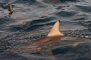Oceanic Black-tip shark (Carcharhinus limbatus)<br /> Baited shark dive<br /> Umkomaas<br /> KwaZulu Natal<br /> SOUTH AFRICA<br /> Range: Widespread in all tropical and subtropical continental waters