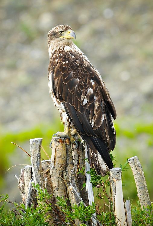 Immature Yukon bald eagle