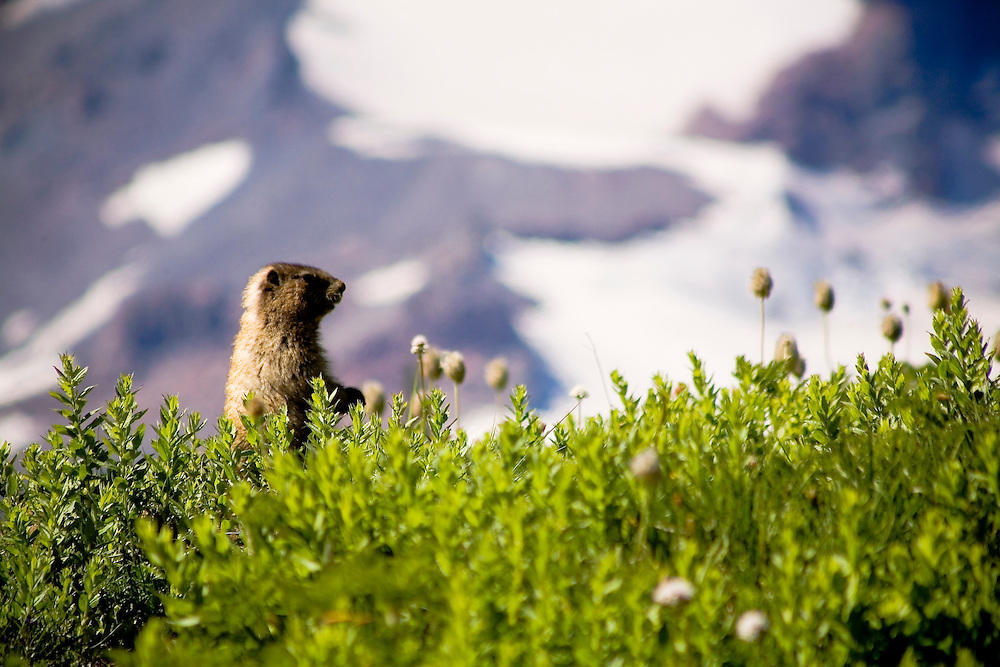 Marmot - Mt. Rainier National Park, Washington