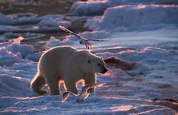 Ivory gull (Pagophila eburnea)  and Polar bear (Ursus maritimus) on drifting ice at 82 degree North in September, Svalbard, Norway