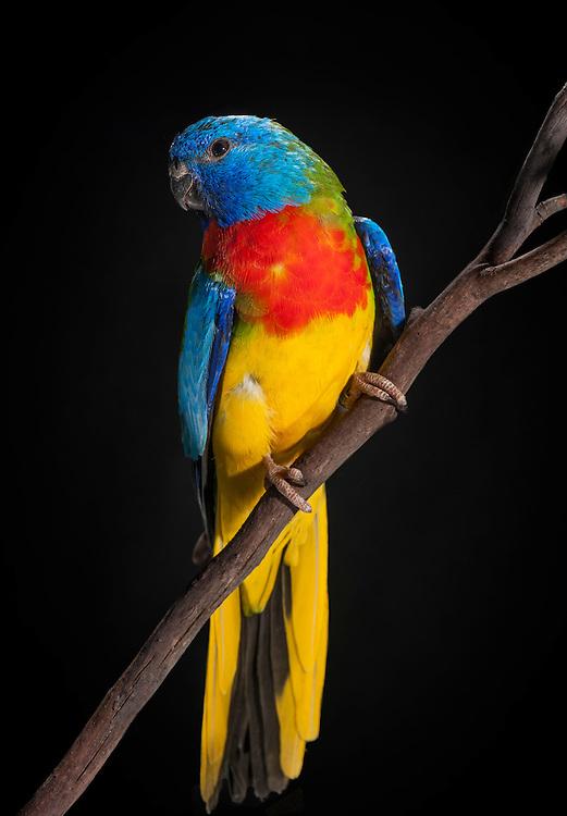 Scarlet Chested Grass Parakeet, (Neophema splendida), captive, credit: Pandemonium Aviaries/M.D.Kern