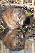 Muskrat (Ondatra zibethicus), Montana