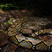 Reticulated Python (Malayopython reticulatus) in Trang, Thailand