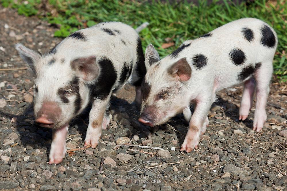 Kunekune pigs, two weeks old, New Zealand