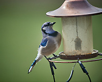 Blue Jay at an empty bird feeder. Image taken with a Nikon D5 camera and 600 mm f/4 VR lens (ISO 450, 600 mm, f/4, 1/1250 sec)