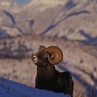 Bighorn sheep. Jasper National Park, Canada.