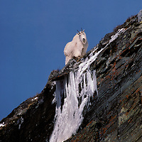 Mountain goat on icey cliff. Glacier National Park, Montana.