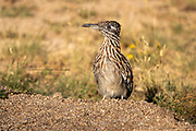 From Wiki - The roadrunners, also known as chaparral birds or chaparral cocks, are two species of fast-running ground cuckoos with long tails and crests. They are found in the southwestern and south-central United States and Mexico, usually in the desert