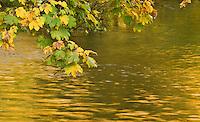 Maple, Acer pseudoplatanus, leaves and water reflection, Gradinsko Lake, Upper lakes, Plitvice National Park, Croatia