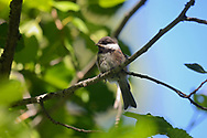 Chestnut-backed Chickadee perched on an alder in a mixed conifer forest in summer. Yaak Valley in the Purcell Mountains, northwest Montana.