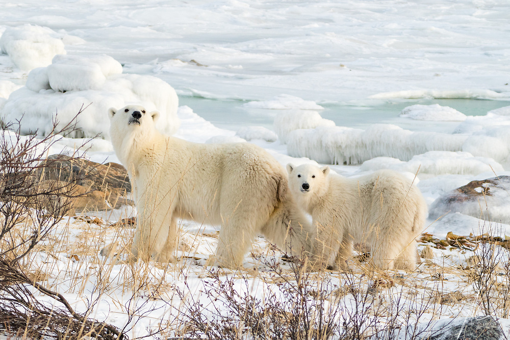 Polar Bear at Churchill, Manitoba of Canada