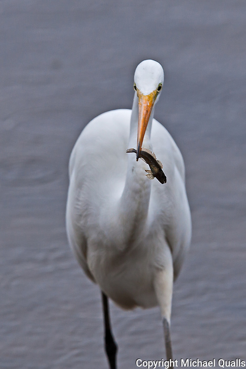 Great Egret with Catch.