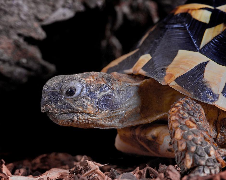 Western Hermans Tortoise  (Testudo hermanni hermanni)