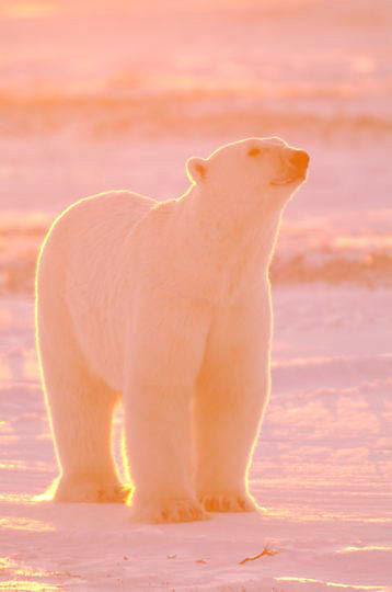 Polar Bear (Ursus maritimus) Large male. Winter. Along the Hudson Bay near Churchill, Manitoba. Canada.