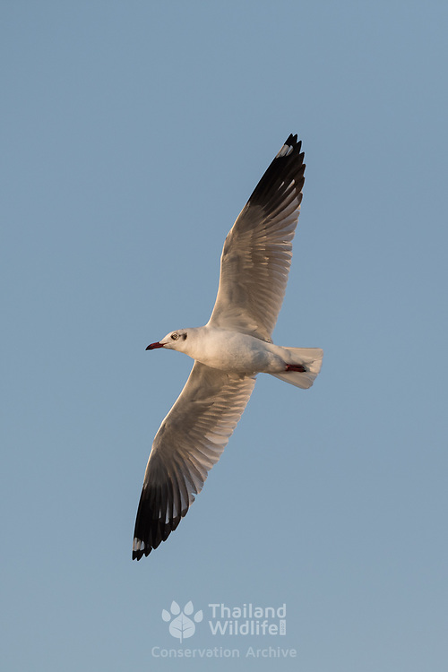 The brown-headed gull (Chroicocephalus brunnicephalus) is a small gull which breeds in the high plateaus of central Asia from Tajikistan to Ordos in Inner Mongolia. It is migratory, wintering on the coasts. As is the case with many gulls, was traditionally placed in the genus Larus.