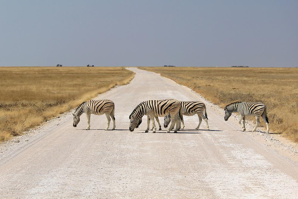 Herd of Burchell´s zebras crossing road in Etosha wildpark, Okaukuejo waterhole. Namibia