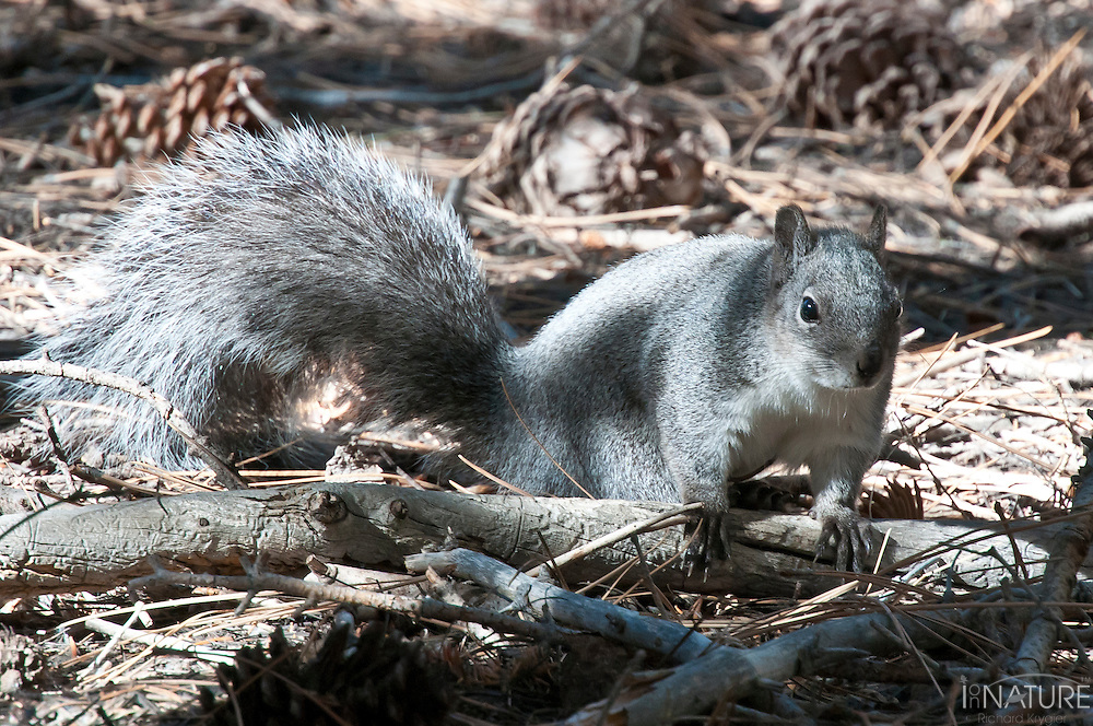 Western gray squirrel foraging amoung the Jeffrey pine cones and needles in the San Jacinto Mountains National Monument, California.