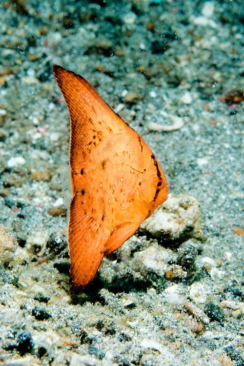 Juvenile Round Batfish Platax orbicularis. at Lembeh Straits, Indonesia.