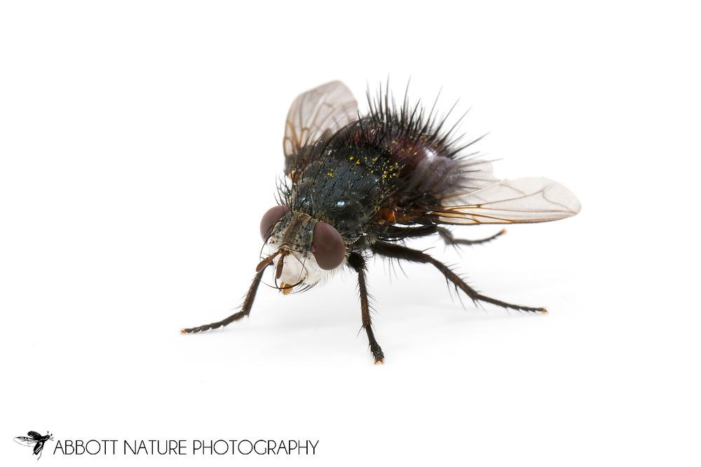 Tachinid or Parasitic Fly (Epalpus signifer)<br /> TEXAS: Travis Co.<br /> Brackenridge Field Laboratory; Austin<br /> 12.Sep.2011  N30.282556 W97.77900<br /> J.C. Abbott