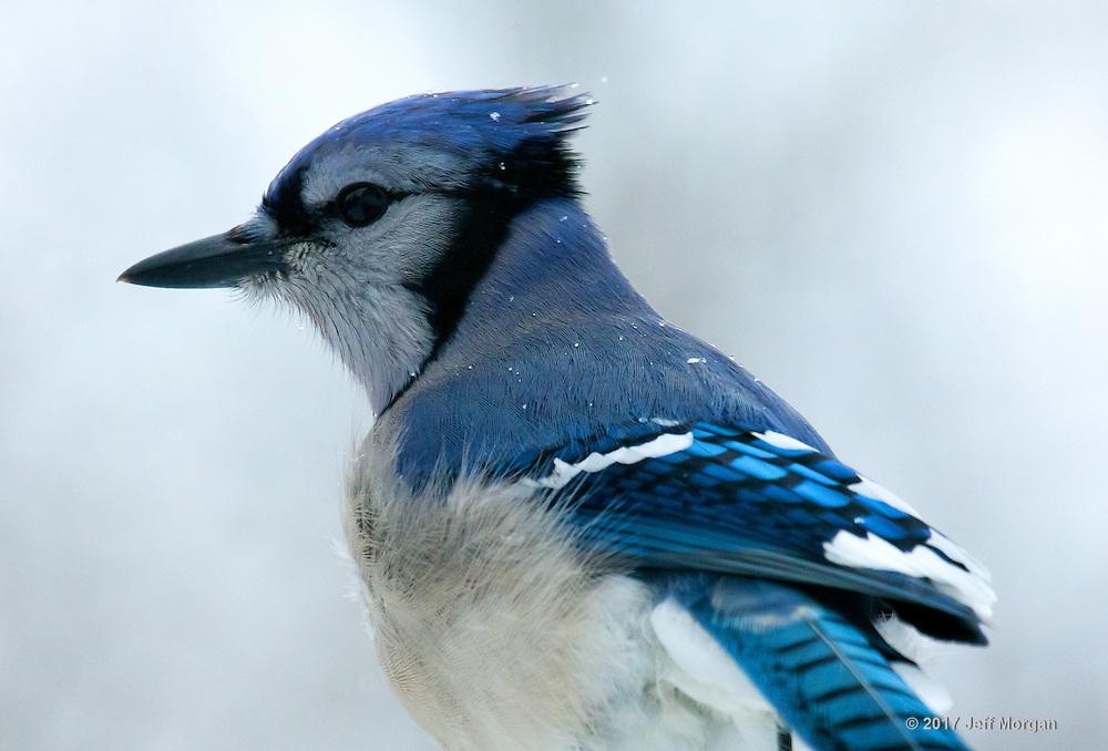 Wild Blue Jay