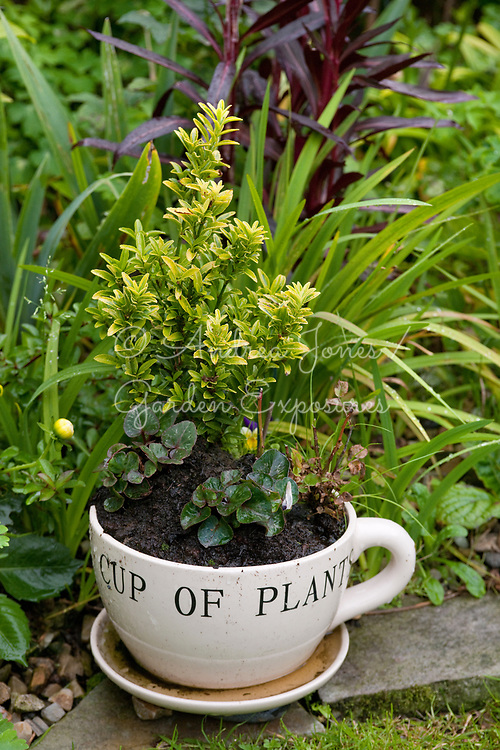 Planted cup and saucer plant container