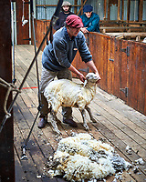 Almost done. Sheep shearing demonstration at an Estancia in Patagonia. Image taken with a Nikon D3s camera and 50 mm f/1.4 lens (ISO 200, 50 mm, f/2.8, 1/50 sec).