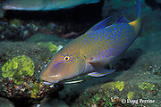 goldspotted, blue, or yellowsaddle goatfish, Parupeneus cyclostomus, Bali, Indonesia