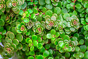 Sedum makinoi ogon foliage. This is a tiny-leaved, spreading, ground cover Sedum that is noted for its bright gold foliage. Photographed in Israel in April