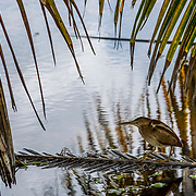 Dowitcher fishing food at the Queen Elizabeth II Botanic Park. Grand Cayman Island.