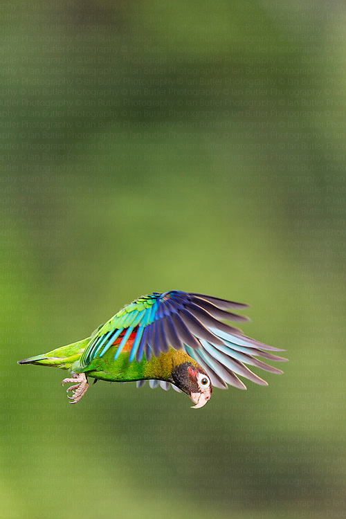 Brown-hooded Parrot (Pyrilia haematotis) in flight near Boca Tapada, Costa Rica, February, 2014.