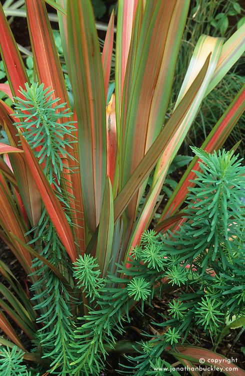 Phormium 'Jester' with Euphorbia cyparissias