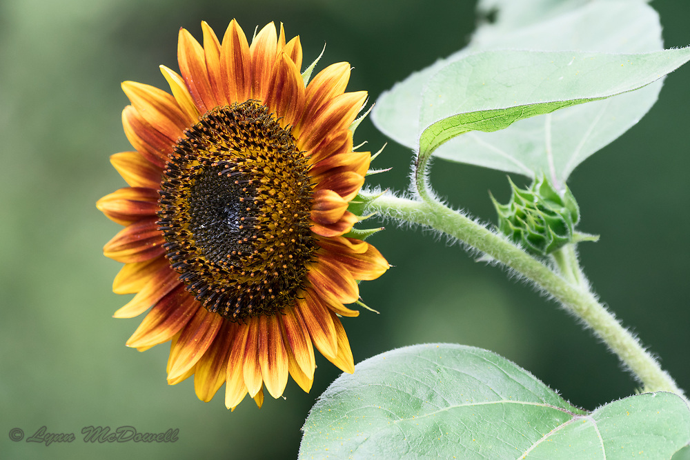 Sunflower glowing in the morning light, I love seeing the pollen which has fallen on the petals and leaf.  Middletown, Delaware