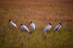 Wood Storks, part of an endangered  breeding population in Florida, forages for fish, frogs, and insects in the  tide marshes of the Florida Everglades.